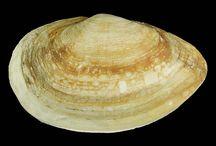schelpen / verzamelen mollusken