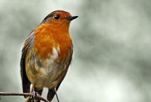 Animals Bird Robin / Roodborstje / by Frieda Hoppen