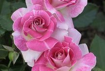 PONTE'S FLOWERS / Belas flores!