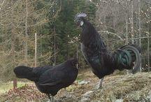 Svarthøns