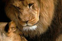 Lions%lionesses