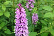 British Wild Orchids / Orchids growing wild in Devon