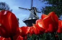 tulips-from-holland