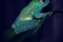 Glass frogs and reed frogs