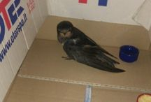 Diverse / caring for a baby swallow!!!