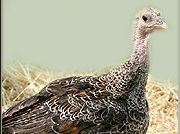 Farming/Husbandry - Turkeys