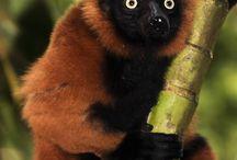 lemur n alsorts