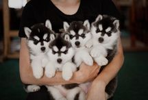 Husky/Alaskan Malamute