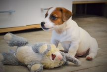 Jack Russel Chiot