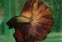 Gold Fish Joy