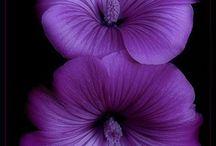 PurpleProse