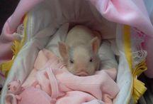 //Baby pigs ^.^