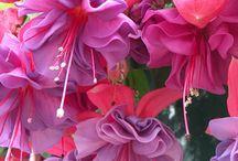 Fuchsia my favourite flower