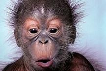 Детеныш орангутанга