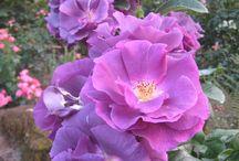 růže sortiment