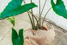 Plante - Alocasia