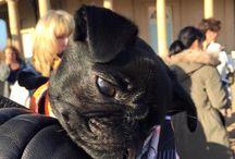 16 adorable photos from Pug'o'ween 2015 / 16 adorable photos from Pug'o'ween 2015