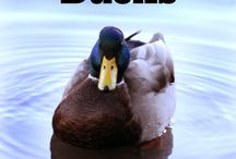 Ducks! Urban Homestead