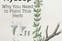 HYSSOP Why you need to plant this herb
