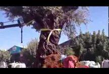 עצי זית  לגינה ירוק ישראלי