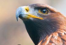 Golden Eagle | Eyeshine Photography / Golden eagles by Eyeshine Photography. Enjoy the beauty of these gorgeous animals.