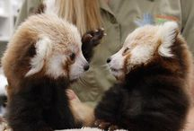 Red Panda Cubs! / Red Panda cubs are seriously adorable! Babies are born in the summer (in the Northern Hemisphere) and spend the first year with mom before venturing out on their own. That time is spent learning how to be a red panda and getting into all sorts of mischief!