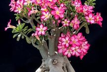 Adenium Bonsai (Desert Rose)