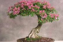 Leptospermum Bonsai