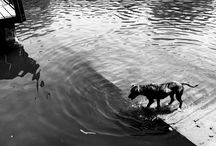 Staffordshire terier -life