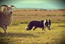 Herding & dogs / paimennus & koiria