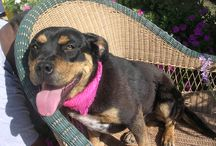 Biggish Doggies - Ruby / Ruby is a rottie mix and as sweet as sweet can be