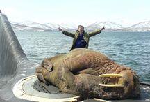 walrus and sea lion
