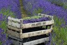 All thing Lavender