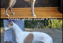 Sommervalper / Whippet puppies summer of 2015. Interested? Please contact sommervalper@outlook.com