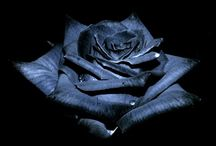 ♥ Blue Roses ♥