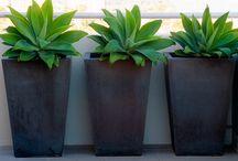 Cserepes növények