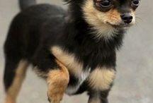 Chihuahua <3