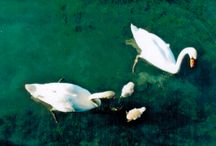 Swans / Swans