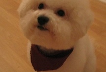 Bichon's  & other sweet dogs