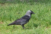 corvi e cornacchie