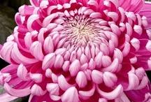 Chrysanthemums / by Susie Jensen