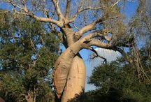 Mighty baobab. / by powbab