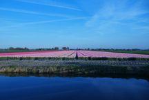 Tulpenvelden / Tulpenvelden in Noord Holland