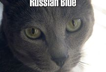 Russian Blue Cats / Cats