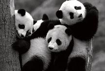 Pandas / by Loh Hon Chun