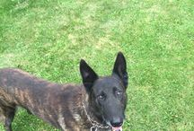 BADY / Dutch Shepherd
