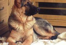German shepherd #2