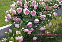 MY DREAM ROSE GARDEN / by Mary C