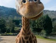 Giraffe / Photos of meeeeeee