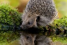 Hedgehog / Hedge hog
